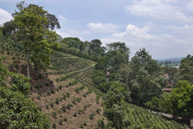 Piantagione di caffè colombiana fotografie stock libere da diritti