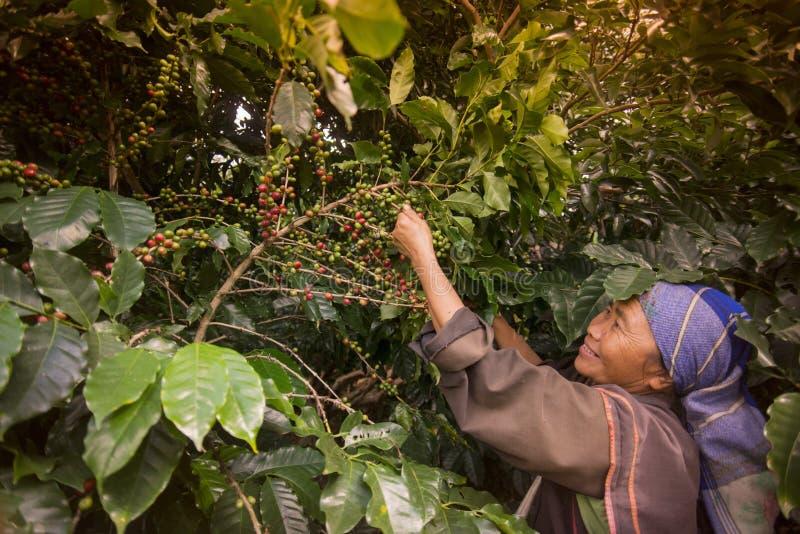 PIANTAGIONE DI CAFFÈ DI MAE SALONG DELLA TAILANDIA CHIANG RAI immagine stock libera da diritti