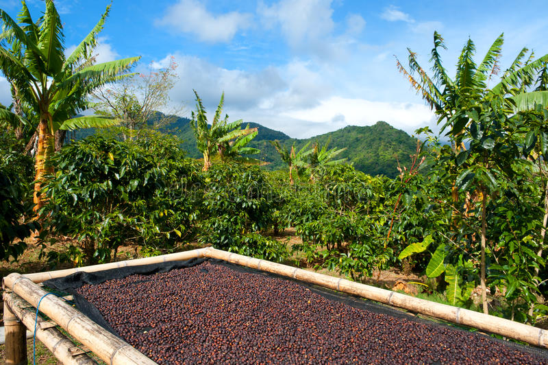 Piantagione di caffè nel Panama, America Centrale. immagine stock libera da diritti