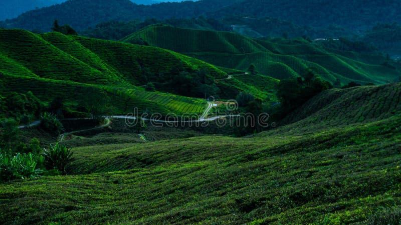 Piantagione di Cameron Highlands Tea durante l'alba fotografia stock