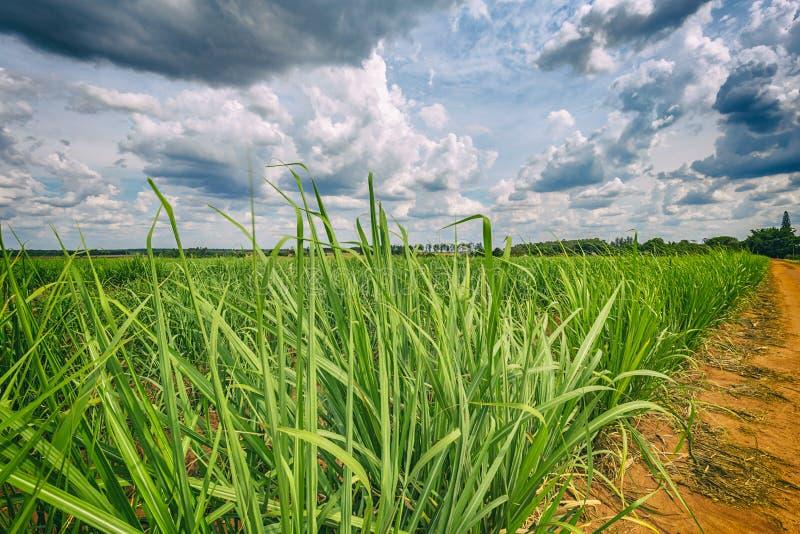 Piantagione di canna da zucchero e cielo nuvoloso - coutryside del Brasile fotografia stock libera da diritti