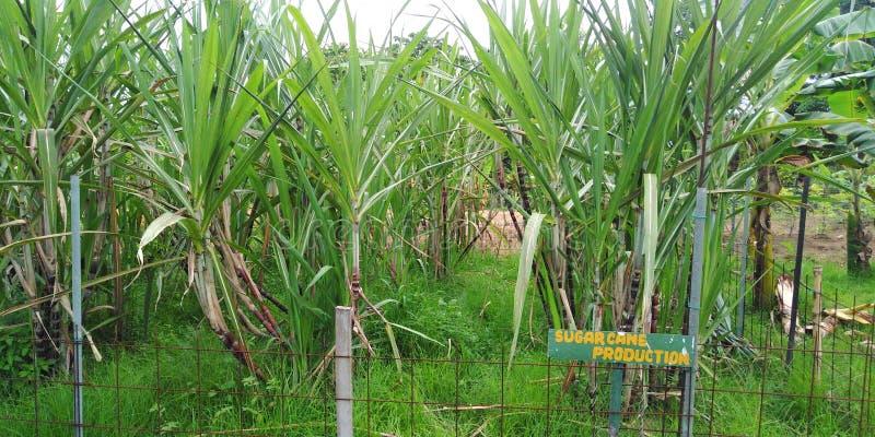 Piantagione di canna da zucchero fotografie stock libere da diritti