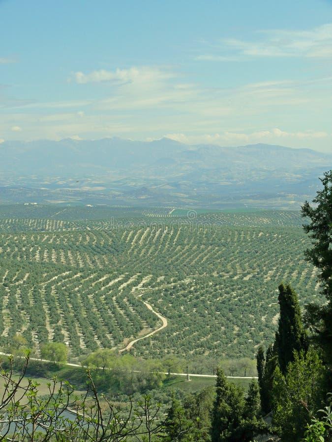 Piantagione di olivo vicino a Ubeda, Spagna immagine stock libera da diritti