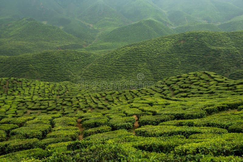 Piantagione di tè agli altopiani di Cameron, Malesia fotografia stock