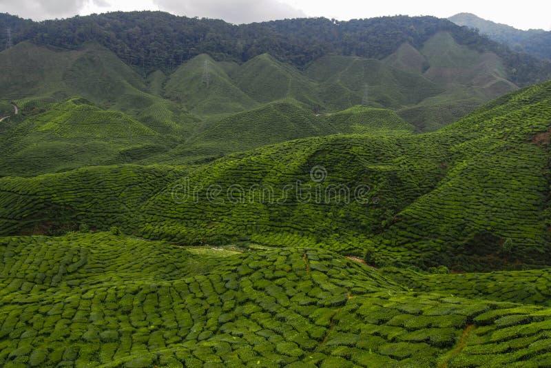 piantagione di tè, altopiani di Cameron, Malesia immagine stock libera da diritti