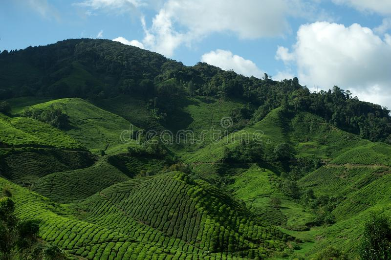 Piantagione di tè, altopiani di Cameron fotografia stock