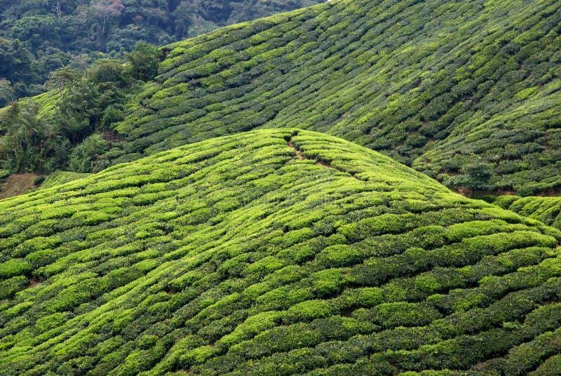 piantagione di tè, altopiani di Cameron, Malesia fotografia stock libera da diritti