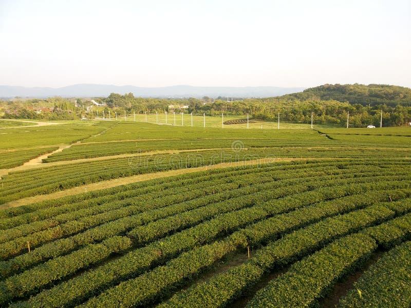 Piantagione di tè - Chiang Rai a nord della Tailandia fotografie stock