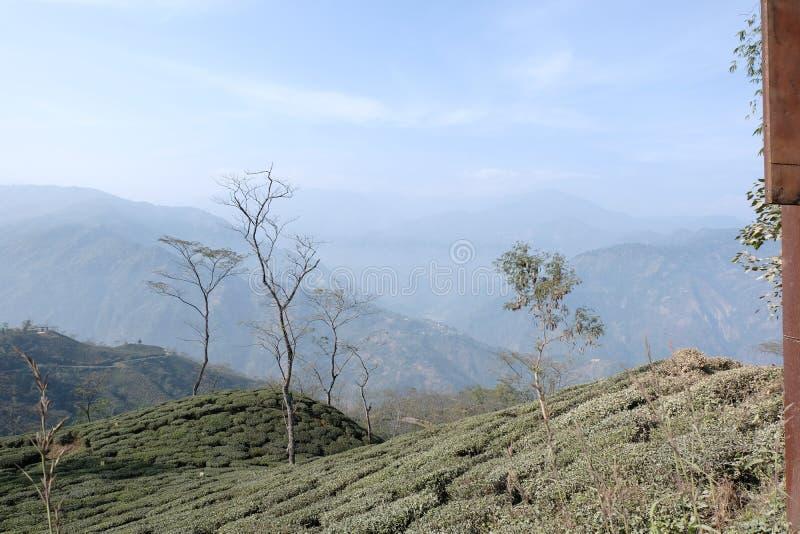 Piantagione di tè in Darjeeling, India fotografia stock libera da diritti