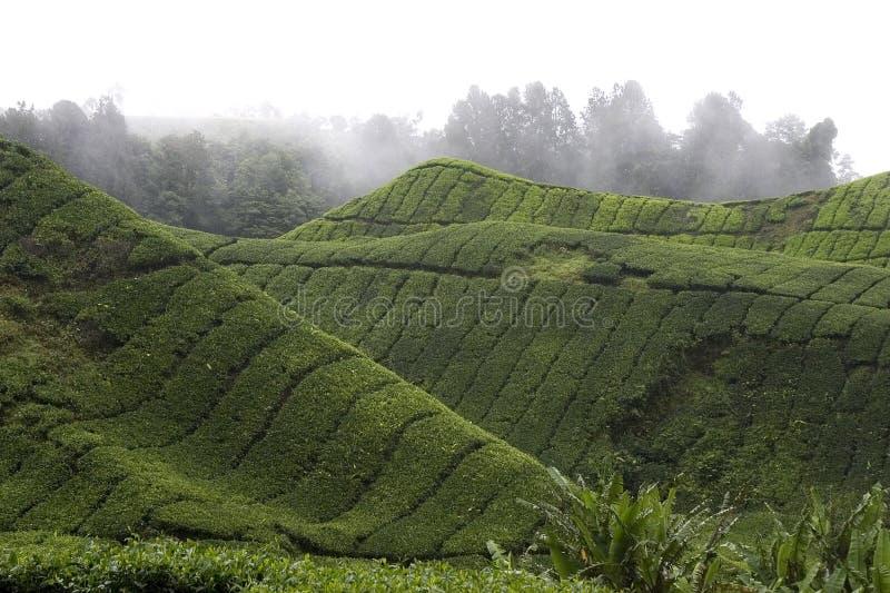 Piantagione di tè dell'altopiano di Cameron immagini stock