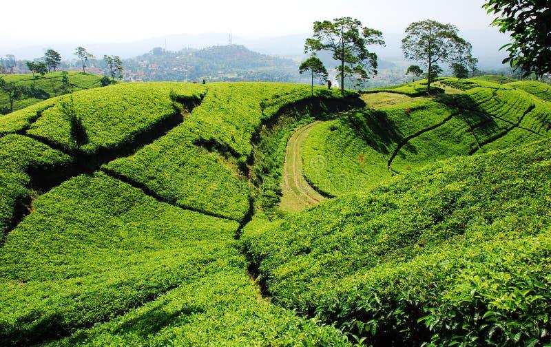 Piantagione di tè di Bandung fotografie stock libere da diritti