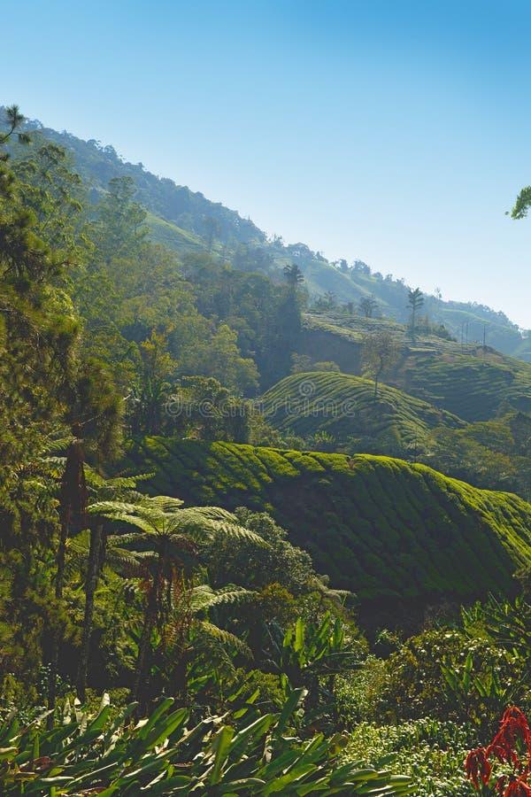 Piantagione di tè di Cameron Highlands fotografie stock libere da diritti