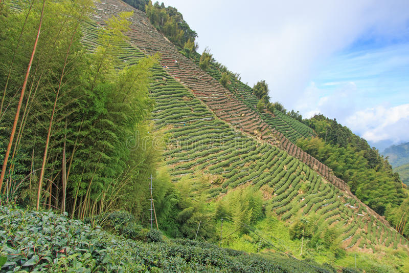 Piantagione di tè di Oolong in Taiwan immagine stock libera da diritti