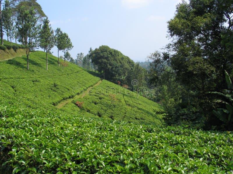 Piantagione di tè - Indonesia