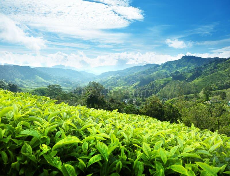 Piantagione di tè, Malesia fotografie stock libere da diritti