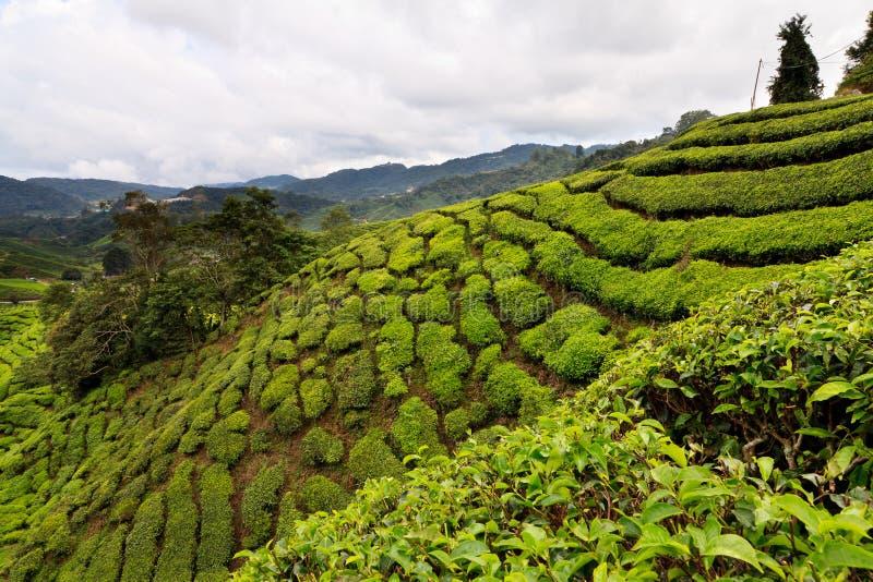 Piantagione di tè negli altopiani di Cameron fotografie stock libere da diritti