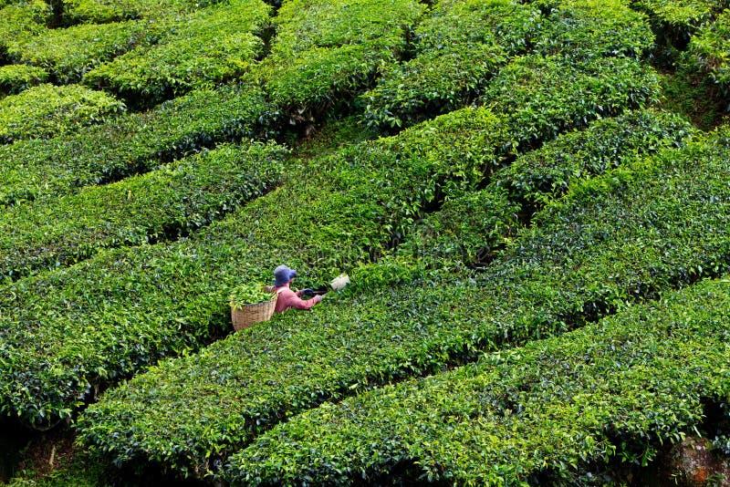 Piantagione di tè negli altopiani di Cameron immagini stock libere da diritti