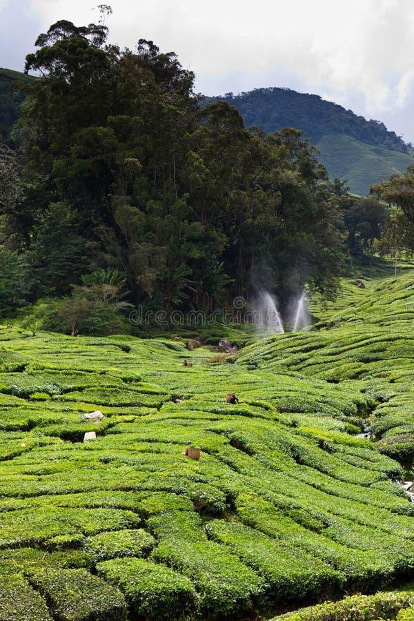 Piantagione di tè negli altopiani di Cameron fotografia stock