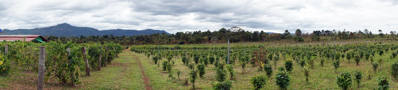 Piantagione di tè nel Laos immagine stock