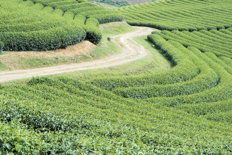 Piantagione di tè nel Vietnam fotografie stock