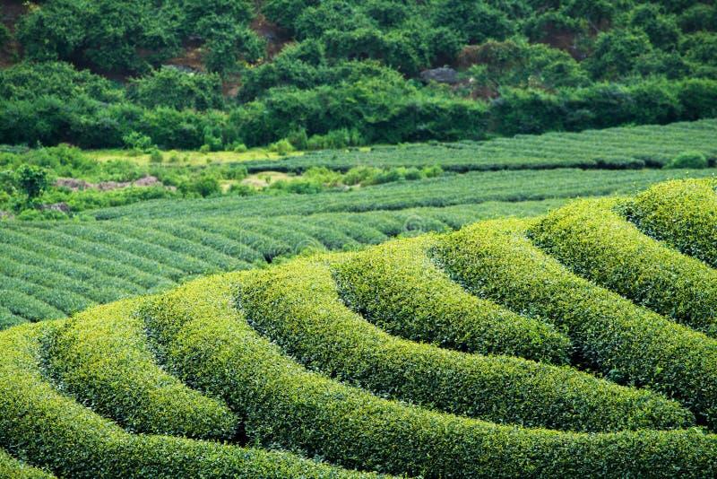 Piantagione di tè nel villaggio di Moc Chau, Vietnam fotografia stock libera da diritti