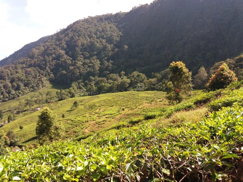 Piantagione di tè tropicale in Bogor, Indonesia immagini stock