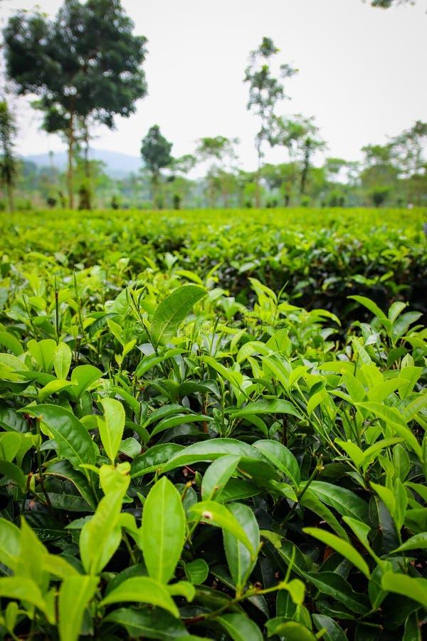 Piantagione di tè di Wonosari Malang, Indonesia fotografia stock