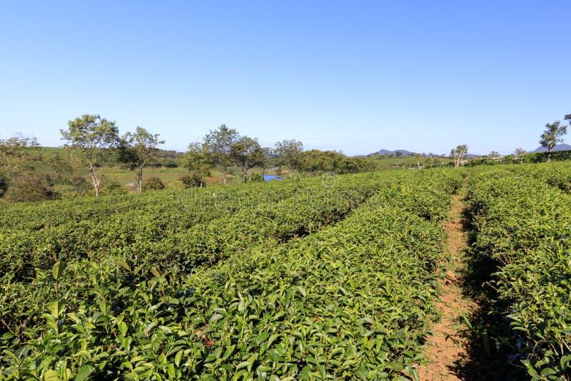 Piantagione di Tam Chau Tea con i cespugli del tè verde in Bao Lam, Vietn fotografia stock libera da diritti