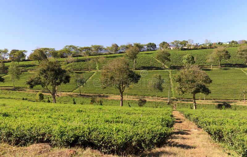 Piantagione di Tam Chau Tea con i cespugli del tè verde in Bao Lam, Vietn immagini stock libere da diritti