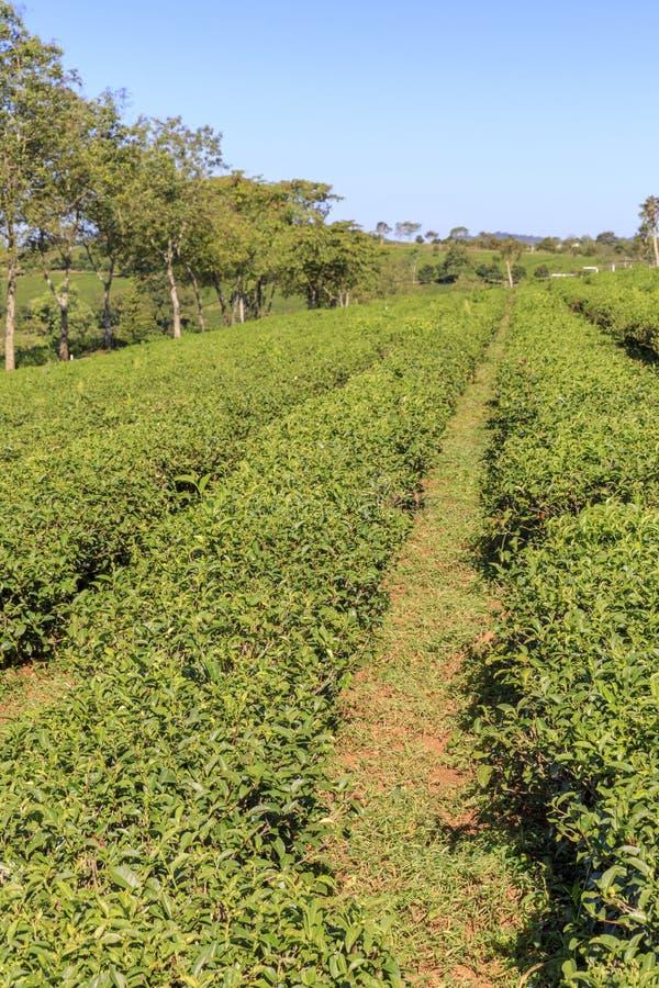 Piantagione di Tam Chau Tea con i cespugli del tè verde in Bao Lam, Vietn immagine stock libera da diritti