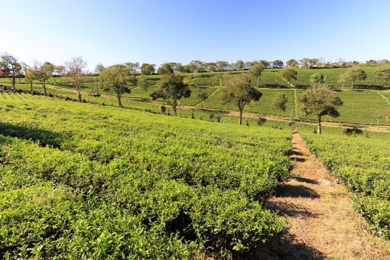 Piantagione di Tam Chau Tea con i cespugli del tè verde in Bao Lam, Vietn immagine stock