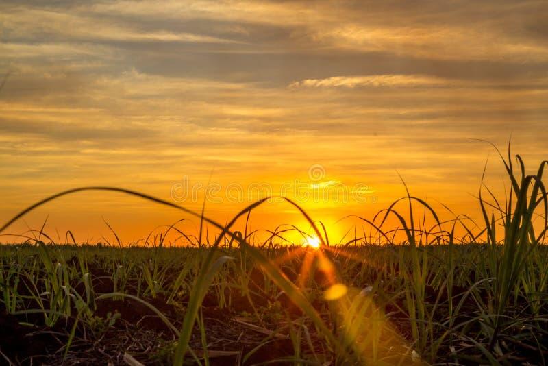 Piantagione di tramonto della canna da zucchero immagini stock