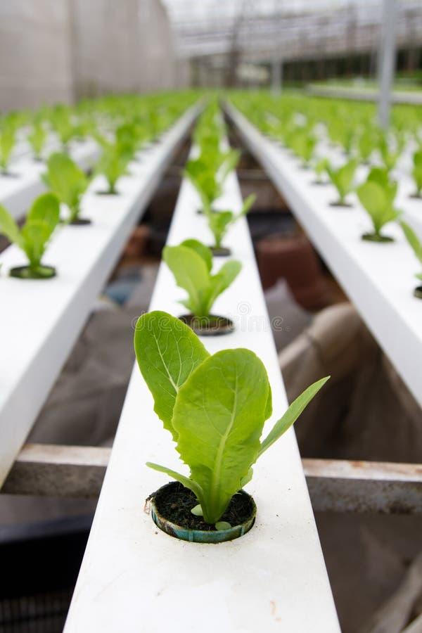 Piantagione di verdure idroponica immagine stock libera da diritti