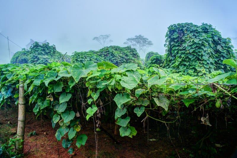 Piantagione di verdure nel Vietnam fotografia stock libera da diritti