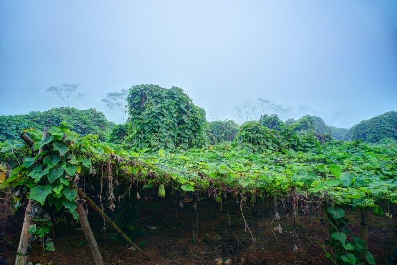 Piantagione di verdure nel Vietnam immagine stock