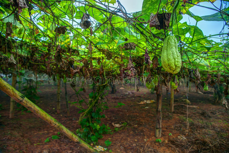 Piantagione di verdure nel Vietnam fotografie stock