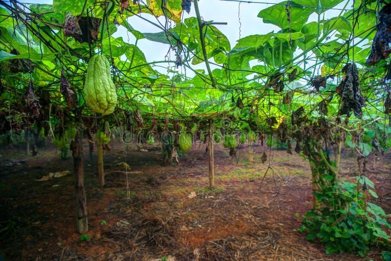 Piantagione di verdure nel Vietnam immagine stock libera da diritti