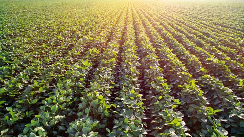 Piantagione soleggiata della soia fotografia stock libera da diritti