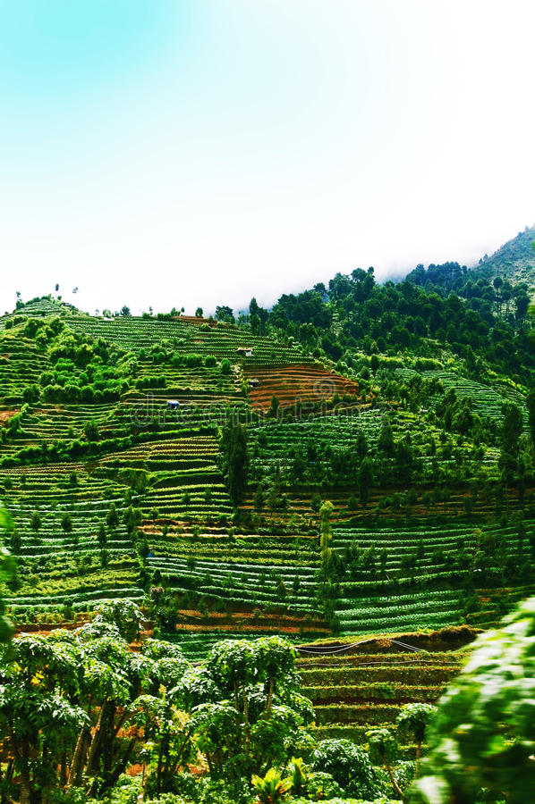 Piantagione a terrazze verde del campo nel plateau Java, Indonesia di Dieng immagine stock libera da diritti