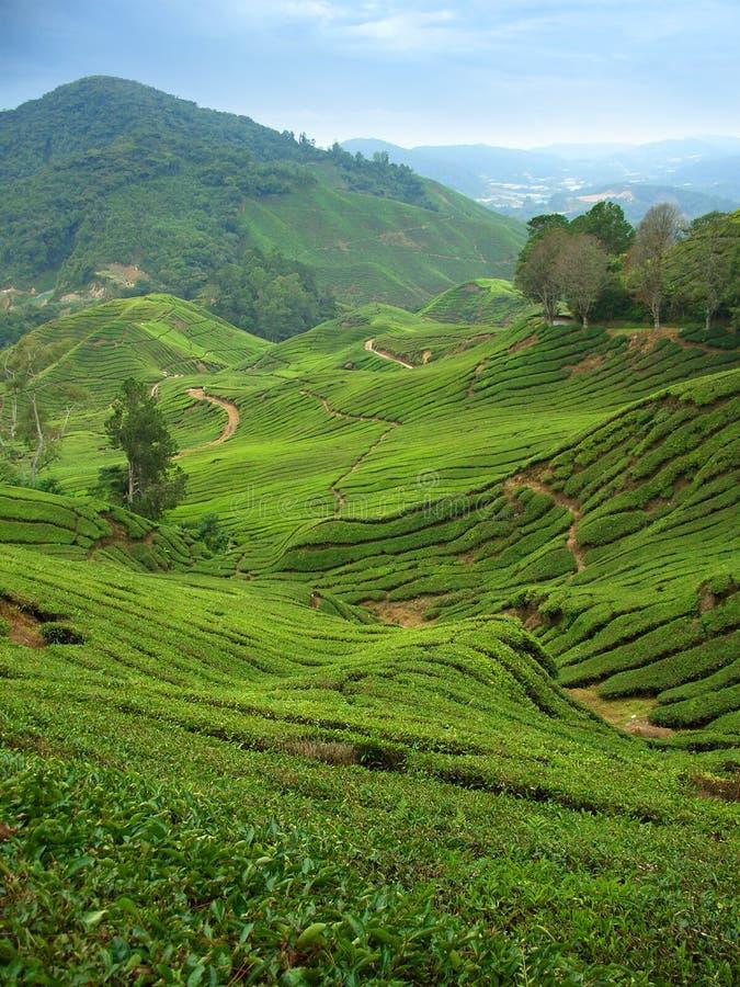 Piantagioni di tè in altopiani di Cameron, Malesia, verticale fotografia stock libera da diritti