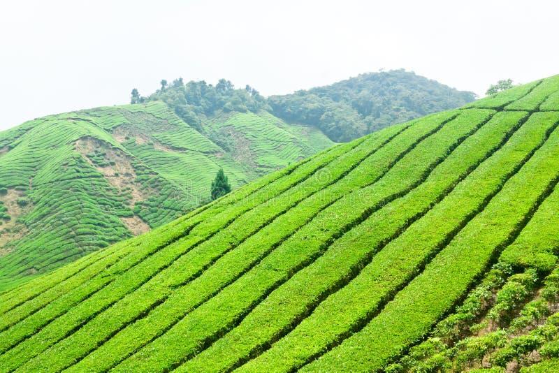 Piantagioni di tè in Cameron Highlands, Malesia fotografia stock libera da diritti