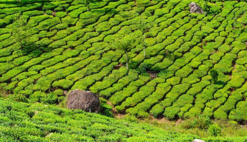 Piantagioni di tè, Kerala India fotografia stock libera da diritti
