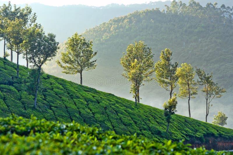 Piantagioni di tè in Munnar, Kerala, India fotografia stock libera da diritti