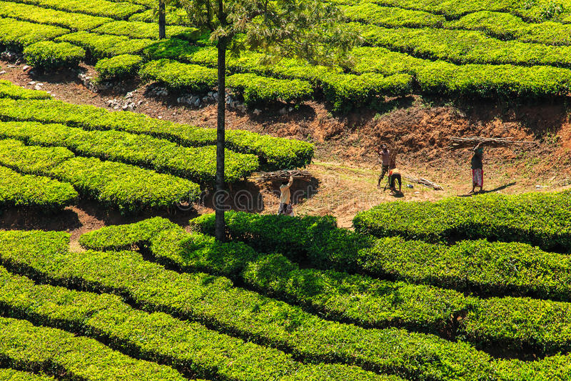 Piantagioni di tè in Munnar, Kerala, India fotografia stock
