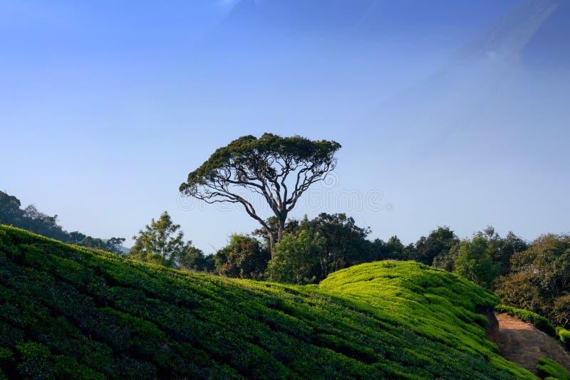 Piantagioni di tè in Munnar, Kerala, India del sud fotografia stock libera da diritti