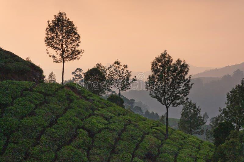Piantagioni di tè in Munnar, Kerala, India del sud fotografia stock