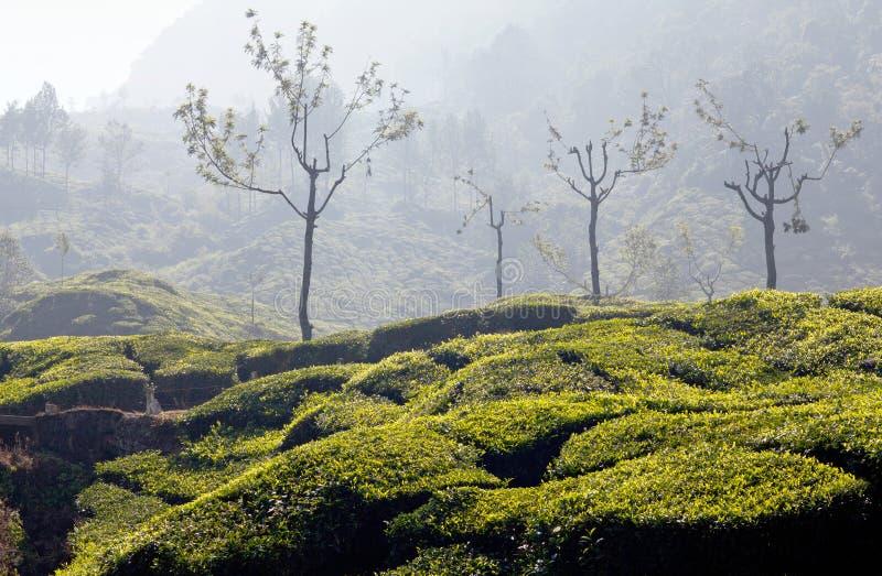 Piantagioni di tè nel Kerala, India del sud fotografia stock libera da diritti