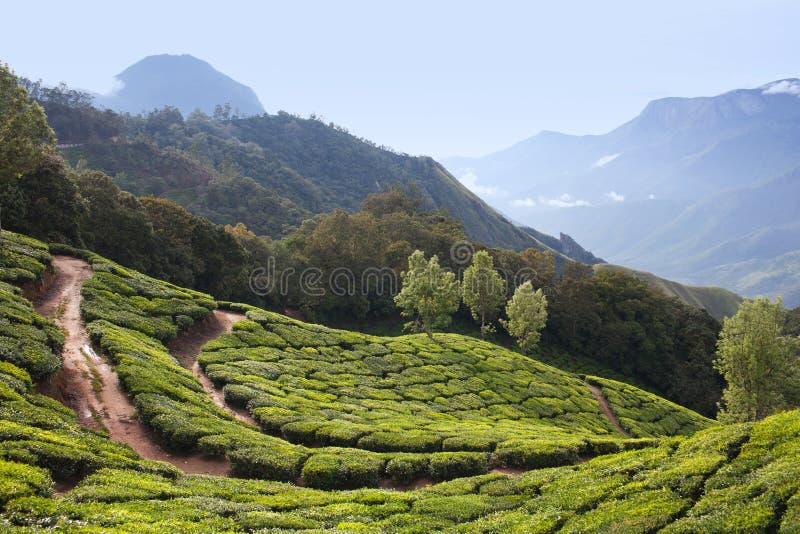 Piantagioni di tè nel Kerala, India del sud fotografie stock