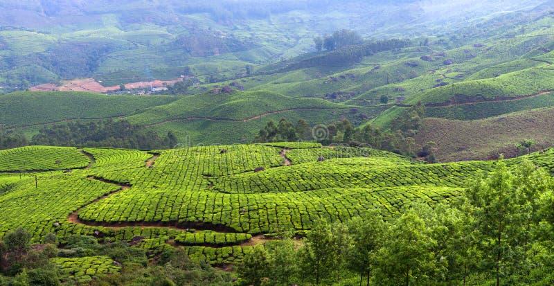 Piantagioni di tè nel Kerala, India del sud immagini stock libere da diritti