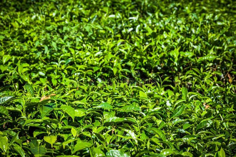 Piantagioni di tè nello stato Kerala, India immagini stock libere da diritti